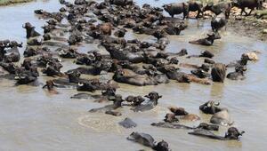 Bitliste kaplıca sularında yıkanan mandaların belgesellik görüntüleri