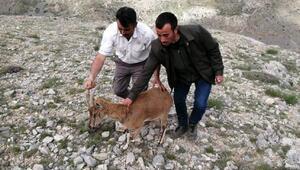 Çobanın bulduğu gebe yaban keçisi tedaviye alındı