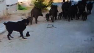 Didim'de aç kalan domuz sürüleri yerleşim yerlerine indi