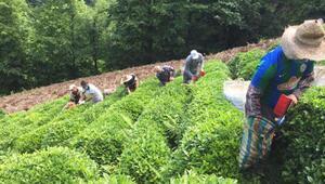 Koronavirüse yakalanan üreticinin çayını komşuları topladı