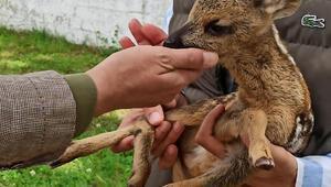 Korumaya alınan yavru karaca biberonla besleniyor