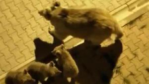 Sarıkamış merkezine inen boz ayı ve yavruları yiyecek aradı