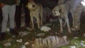 Çizgili sırtlanı köpeklere parçalatıp öldürenlere 30 bin lira ceza