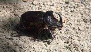 Elazığ'da gergedan böceği görüntülendi
