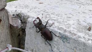 Kırklarelide kırmızı listede yer alan geyik böceği bulundu