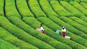 Çayın vatanı Rizede çaya kumpas Bu da çayın Susurluku...