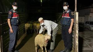 Çaldıkları 40 hayvanı satmaya götürürken yakalandılar