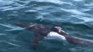 Saros Körfezinde köpek balığı görüntülendi