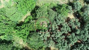 Bursada zeytin ağaçları arasında bulundu Definecilerin hedefi oldu...
