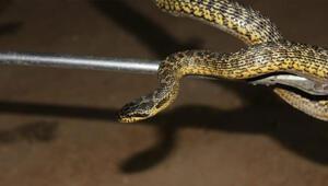 1,5 metrelik engerek yılanı şoku Yumurta alayım derken…