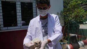 Yaralı halde bulunan peçeli baykuş yavrusu, tedavi altına alındı