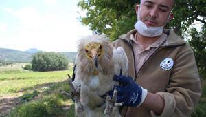Akbabaya, Afrika'dan 5 bin kilometre uçarak geldiği Eskişehir'de tedavi