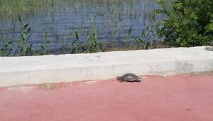 Kaplumbağaların göle geçişine beton set engeli