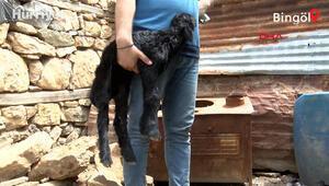 Bingöl depreminde annesini kaybeden 5 günlük kuzuya ilgi