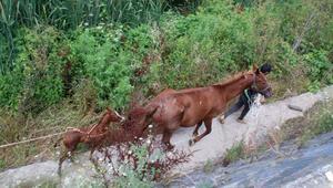 Eyüpsultanda dereye düşen anne at ve yavrusu kurtarıldı