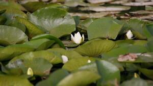 Eber Gölünde açan nilüferler görsel şölen sunuyor