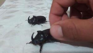 Bingölde gergedan böceği görüldü