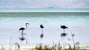 Flamingoların Van Gölü kıyılarındaki görsel şöleni başladı
