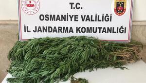 Jandarmanın ev aramasında 13 kök kenevir bitkisi ele geçirildi