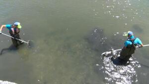Küçükçekmece Gölü'nde kıyıya vuran balıklar toplanıyor