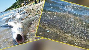 Küçükçekmece Gölü'nde binlerce balık kıyıya vurdu... Katliam