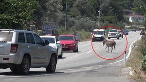 Marmariste trafikte başıboş eşek tehlikesi