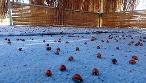 Saros Körfezinde uğur böceği istilası Sayıları pik değerlere ulaştı, nedeni...