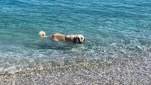 Sıcaktan bunaldıkça denize girip yüzen köpek, Datçada turistlere eşlik ediyor