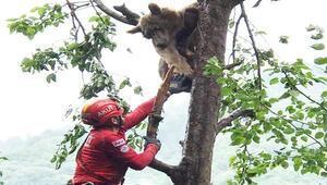 Ayağına tel dolanan bozayı, mahsur kaldığı ağaçtan 2 günde kurtarıldı