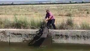 Kanala düşen yaban domuzunu kurtardı