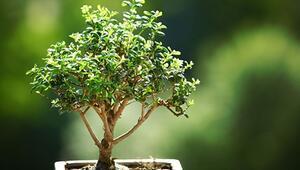 Bonsai bakımı nasıl yapılır Püf noktaları neler