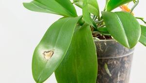 Orkidenin sararan yapraklarına ne yapılır
