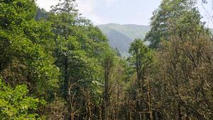 Türkiyenin en yaşlı şimşir ormanlarından iyi haber