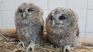 Tuncelide 2 yavru alaca baykuş doğal ortamına bırakıldı