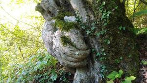 Gövdesiyle şaşırtan ağacın koruma altına alınmasını istedi