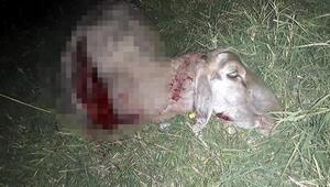 Hayraboluda kurtlar, koyun sürüsüne saldırdı