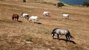 İşte Adalardaki o atlar