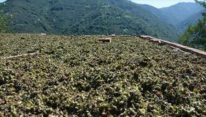 Fındık hasadında çalışacak mevsimlik işçiler için Kovid-19 tedbirleri uygulanacak