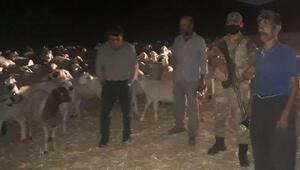 Elazığda kaybolan 300 küçükbaşı jandarma buldu
