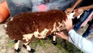Görüntüler Pakistan'dan... Üzerine koyun yünü yapıştırılan keçiyi kurbanlık koyun diye sattılar