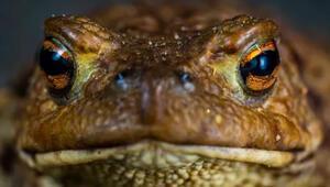 Bilim insanları dünyanın en büyük kurbağasını kurtarmaya çalışıyor