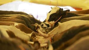 Kurbanlık hayvanı elektrik veya narkozla bayıltarak kesmek caiz midir