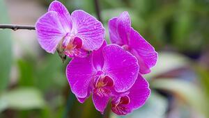 Orkide bakımı nasıl yapılmalı