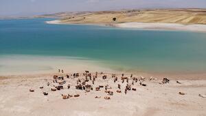 Sıcaklar onları da etkiledi, bu kez mandalar değil, inekler serinledi