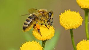 Arıların azalmasıyla birlikte gelen büyük tehlike