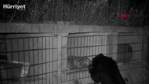 Çinde aç ayı, arıcıların kovanından bal yerken görüntülendi