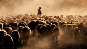 Bitlis'te koyunların tozlu ve zorlu yolculuğu