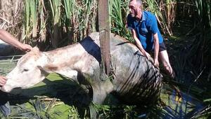 Bataklığa saplanan inekleri AFAD kurtardı