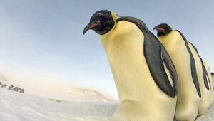 Güney Kutbunda imparator penguenlere ait yeni üreme alanları tespit edildi