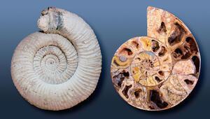 Ammonit Taşı Nedir, Nerelerde Ve Nasıl Bulunur Ammonit Taşı Nasıl Anlaşılır Özellikleri Ve Faydaları